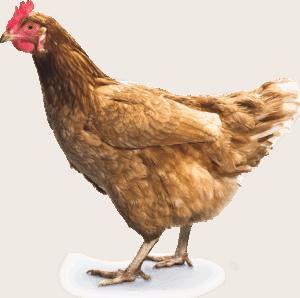 chicken_PNG2160